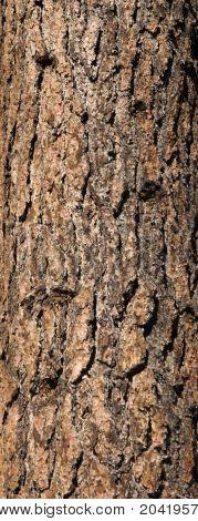 Trunk Of Ponderosa Pine