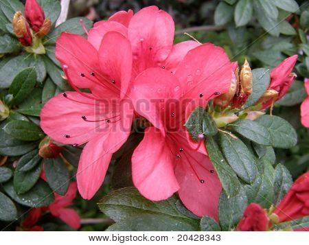 Beautiful flower of an azalea. Rhododendron