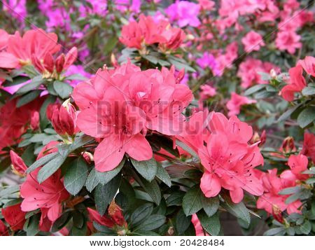 Beautiful flower of an azalea. Rhododendron