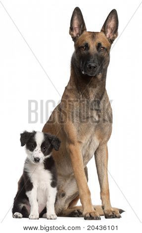 Belgian Shepherd Dog, 2 years old, and Border Collie puppy, 3 months old, sitting in front of white background