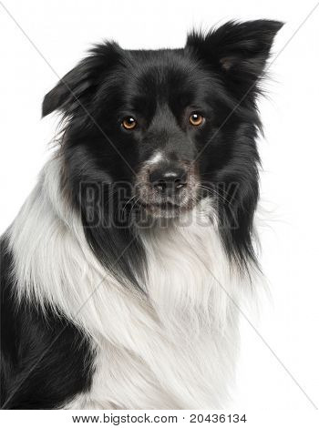 Close-up of Border Collie, 3 and a half years old, in front of white background