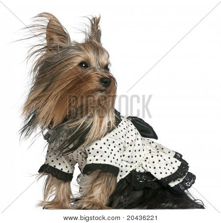 Yorkshire Terrier wearing black and white polka dot dress with hair in the wind, 3 years old, in front of white background