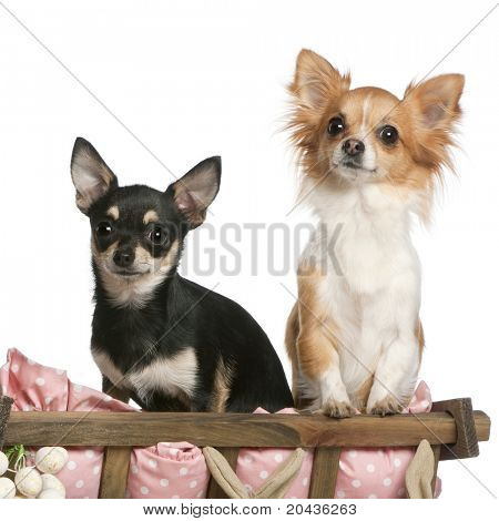 Chihuahuas, 14 months old, sitting in dog bed wagon in front of white background
