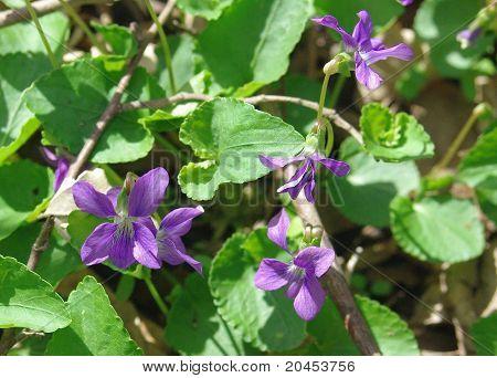 Violets burst forth in the spring.
