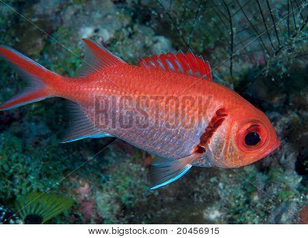 Oman-Lippfisch Soldierfish