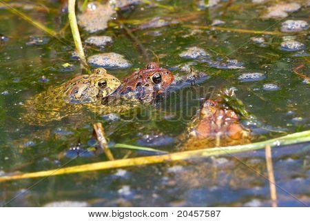 American Toads (Bufo americanus)