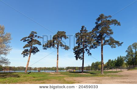 Pines In City Park