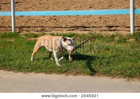 The Pit Bull Terrier