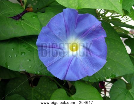 Blue Flower After The Rain