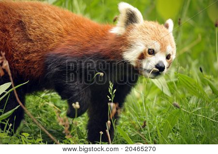 Cute and endangered Red Panda