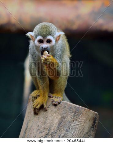 The common Spider Monkey