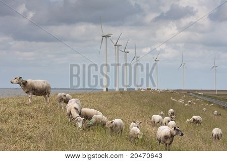 Grazing Sheep With Some Big Windmills Behind Them