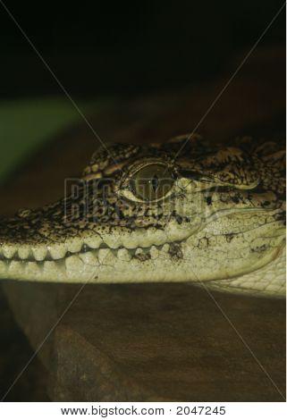 Young crocodile left side