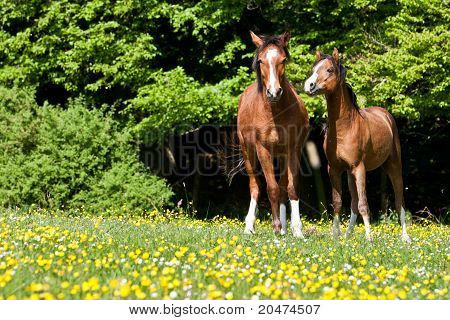 Stallions On A Colorful Meadow