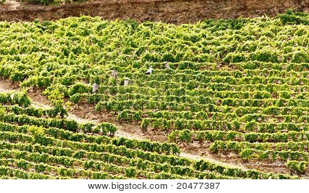 Porto Wine Vines Work