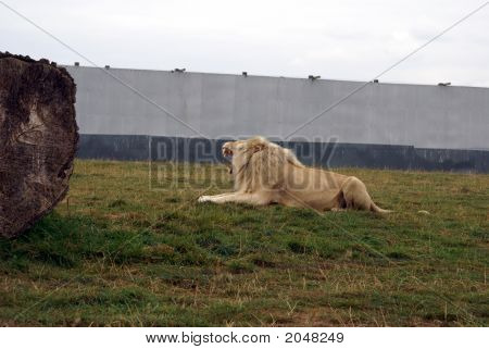 African Lion Sitting Alone