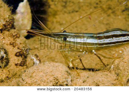 Kräuter Garnelen unter Wasser Nahaufnahme