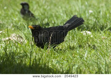 Blackbird Displaying