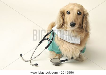 doctor dachshund