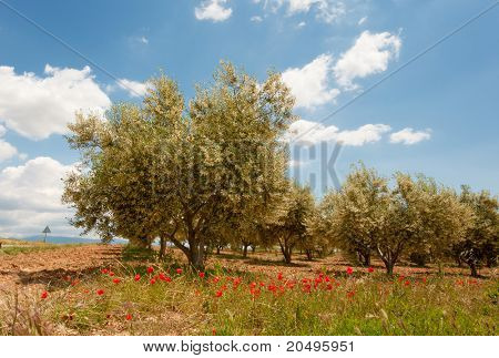 Red Poppies and olive trees in the French Provence at the Valensole plateau