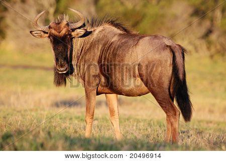 Wilderbeest Antelope