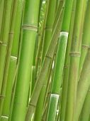 foto of bamboo forest  - Green bamboo grove - JPG