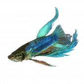 pic of siamese fighting fish  - Shot of a blue Siamese fighting fish under water in front of a white background - JPG