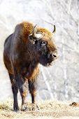 picture of aurochs  - Big wild bison in the winter forest  - JPG