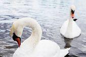 Beautiful White Swan With The Family In Swan Lake, Romance, Seasonal Postcard. poster