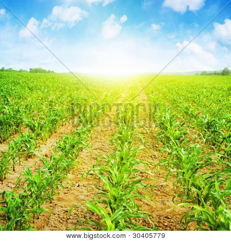 Young corn field,blue sky and sunlight.