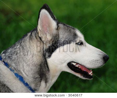 Siberian Husky Profile