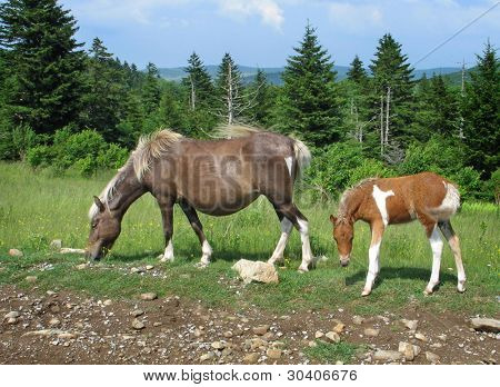 Wild mare and colt at Grayson Highlands State Park, Virginia