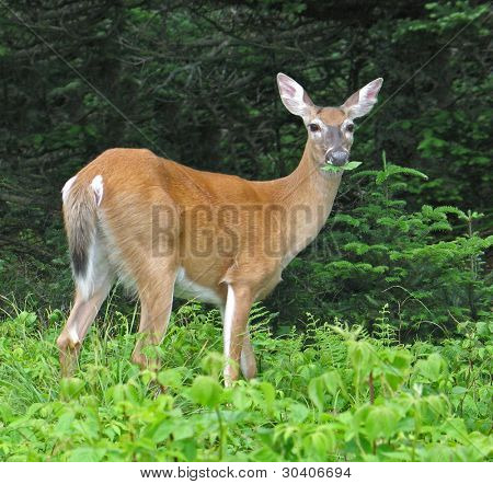 White-tail deer munching leaves