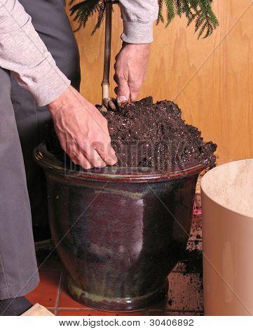 Transplanting a large houseplant (Norfolk Island pine)