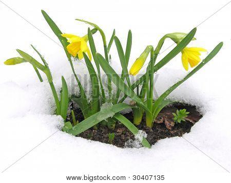 Narzissen blühen durch den Schnee