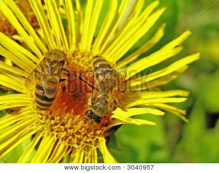 Bee On An Elecampane