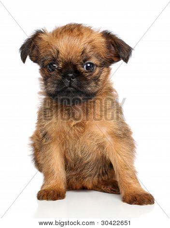 Griffon Bruxellois Puppy