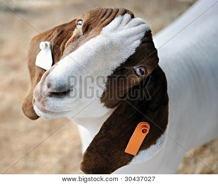 Closeup, overhead image of a brown and white goat looking forlornly up at the viewer.