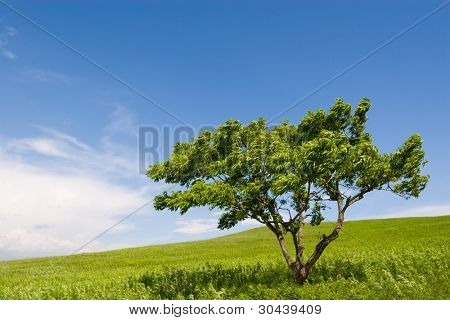 Summer. A lonely tree. Foothills.Strong wind.