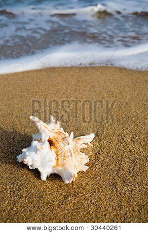 Shell on sea sandy coast.