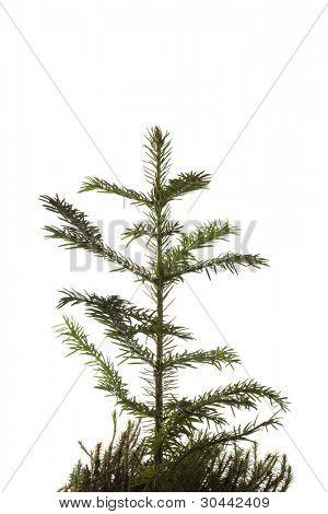 Natural pequeña Navidad abeto tree(sapling) con una hierba aislada en blanco.