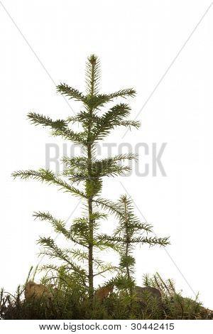 Dos natural pequeña Navidad abeto tree(sapling) con una hierba aislada en blanco. Caída.