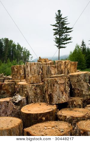 Deforestation. Ecology. Wood sawn log on to the fire. Coniferous forest.