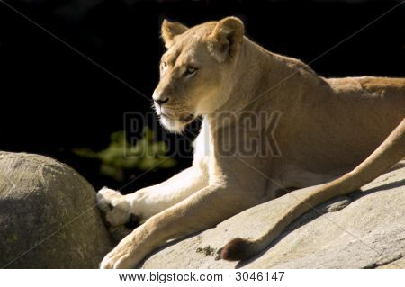 Lioness On Rock