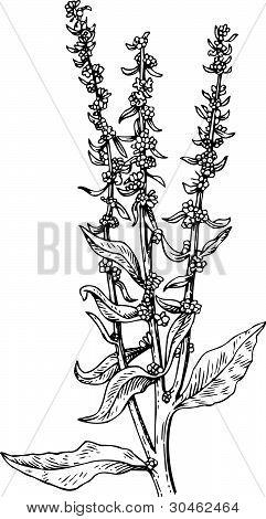 Plant beta