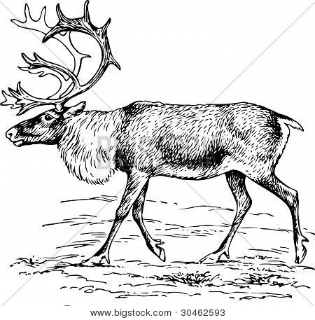 Hirsch Rangifer tarandus