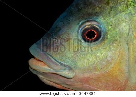Nembwe Fish Portrait