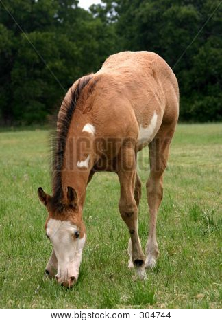 Paint Colt Grazing