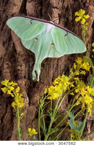 Luna Moth On Tree