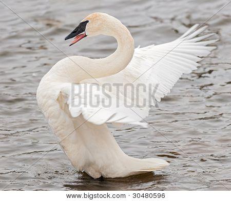 Trumpeter Swan (Cygnus buccinator) Wing Flap